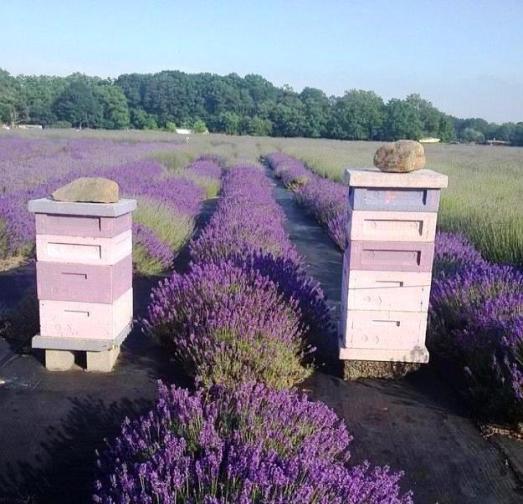 Langstroth beehives in a field of lavendar